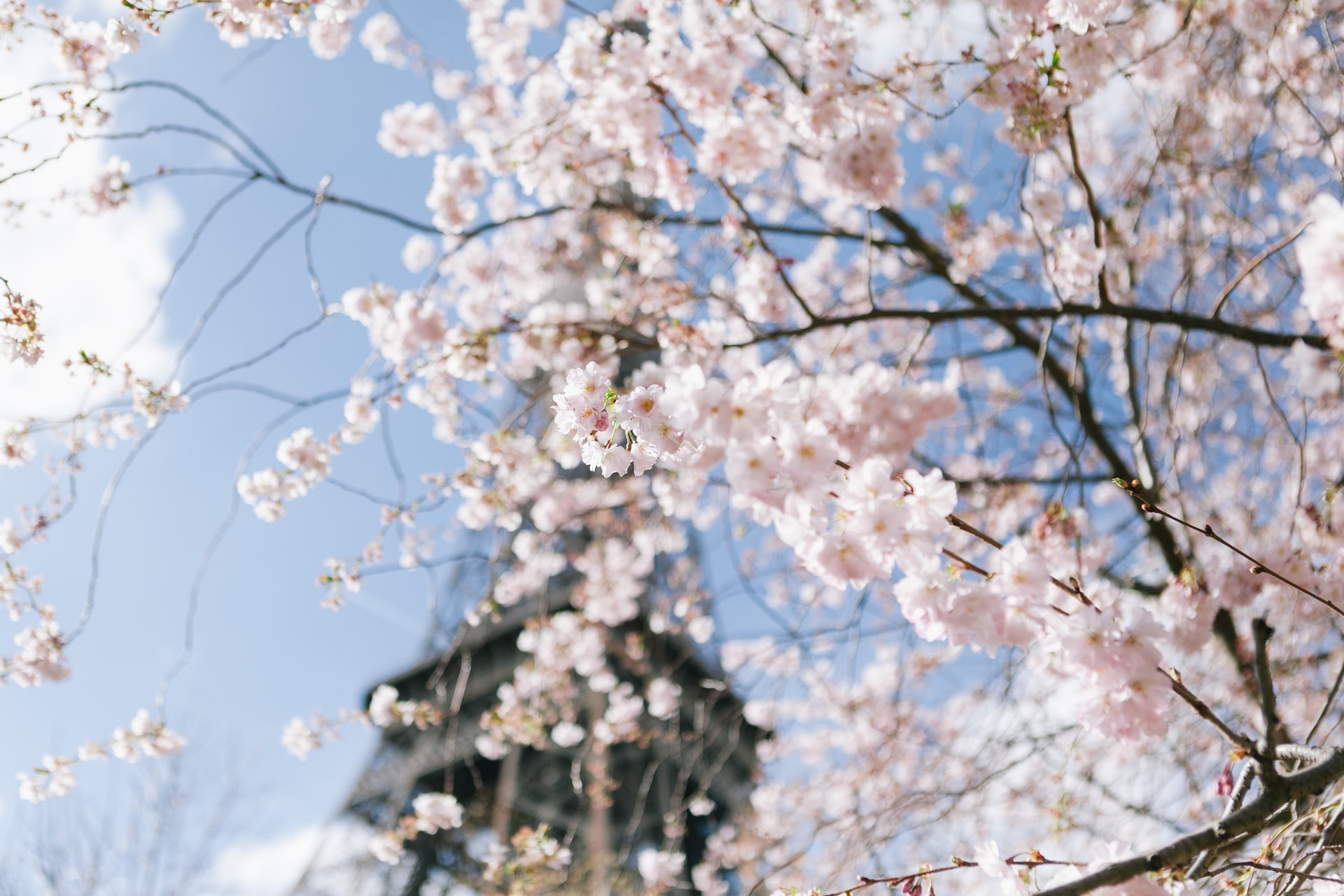 Cherry blossoms at the Eiffel Tower